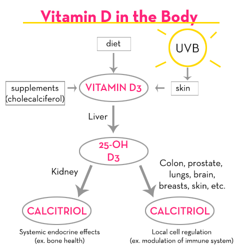 Vitamin-D-in-the-body