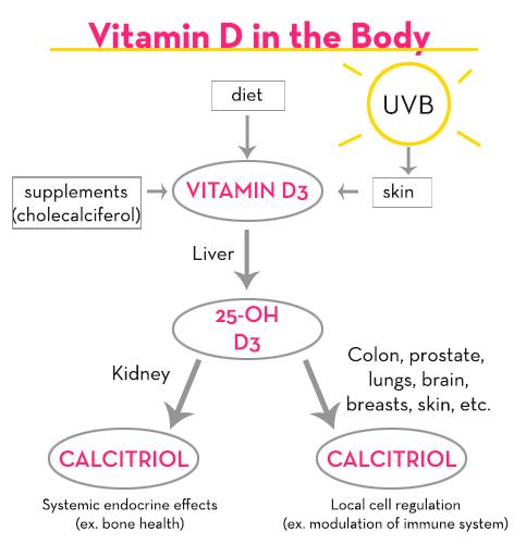 Vitamin-D-in-the-body